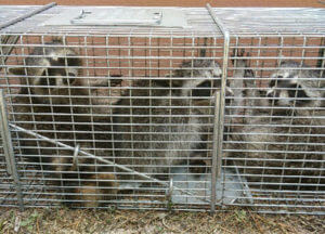 3 juvenille raccoons trapped in an attic